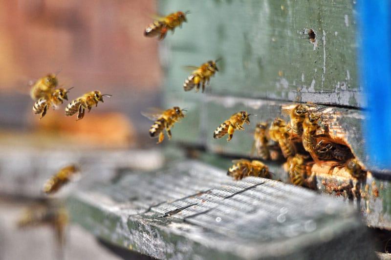 méhcsípés allergia